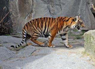junger Tiger - Tiger, Raubkatze, Großkatze, Biologie, eins, Zoo, Säugetier, Raubtier, Tarnung, Camouflage, gestreift, Streifen