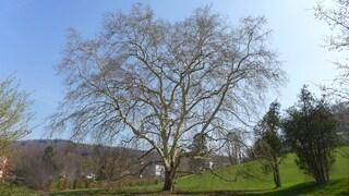 Platane - Bäume, Pflanze, Natur, Schreibanlass, dunkel, herbstlich, bunt, Herbst, Färbung, Laub, Laubbaum, Impression, Platane