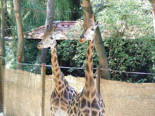 Giraffen - Giraffe, Tier, Tierpark, Zoo, Netzgiraffe, Tarnung, Camouflage