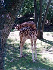 Giraffe - Giraffe, Tier, Tierpark, Zoo, Jungtier, Netzgiraffe, Hals, Tarnung, Camouflage