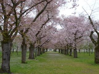 Kirschblüten - Kirsche, Frühling, Bäume, Blüte, blühen, Knospen, Blüten, Knospe, Obstbaumblüte, Frühjahr, Aufbruch, aufbrechen, erblühen, Obstbaum, Pflanze, Baum