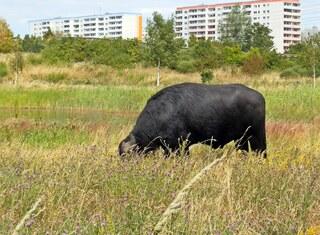 Rasenmäher Wasserbüffel 1# - Wasserbüffel, Beweidung, Weide, weiden, ökologisch, ökonomisch, nachhaltig, Rasenmäher, Natur, Haustier, Genügsamkeit, Robustheit, Friedfertigkeit, Mythologie