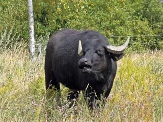 Wasserbüffel 2# - Wasserbüffel, Beweidung, Weide, weiden, ökologisch, ökonomisch, nachhaltig, Rasenmäher, Natur, Haustier, Genügsamkeit, Robustheit, Friedfertigkeit, Mythologie