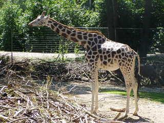 Giraffe - Giraffe, Tier, Tierpark, Zoo, Tarnung, Camouflage