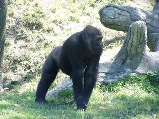 Gorilla - Gorilla, Affe, Menschenaffe, Tier, Zoo, Tiergarten, Primat, Artenschutz, bedrohte Art