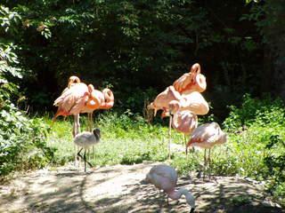 Flamingos - Flamingo, Flamingos, rosa, Vogel, Tier, Tierpark, Zoo, Jungtier, Jungvogel, Freigehege, Gefieder, lange Beine, Schwimmhäute
