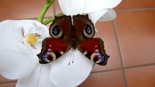 Tagpfauenauge - Tagpfauenauge, Schmetterling, Edelfalter, Fleckenfalter, Insekt