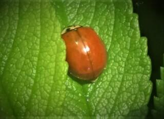Wo sind meine Punkte? - Marienkäfer, ohne Punkte, Garten, Grün, Blätter, Natur, Schädlingsbekämpfung