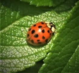 Marienkäfer mit Punkten - Marienkäfer, Punkte, Natur, Grün, Insekt, Schädlingsbekämpfung, Glückssymbol