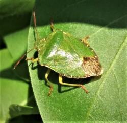 Grüne Wanze - Insekt, Garten, Tarnung, Wanze, grün, Blattwanze, Baumwanze, Schnabelkerfe, schildförmig