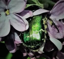Rosenkäfer im Flieder - Insekt, Käfer, Rosen, geschützte Art, Natur, glänzend, fliegen, Blatthornkäfer, Goldrosenkäfer