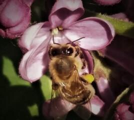 Biene im Flieder - Insekt, Biene, sammeln, Pollen, Honig, Blüte, Hautflügler, Staatenbildung
