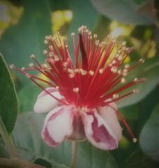 Blüte der Ananas-Guave - Blüte, bunt, Kübelpflanze, Myrtengewächs, Ananas Guave, Brasilianische Guave, Feijoa, Staubblätter, Blütenhüllblätter