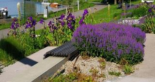 DonaugeländeTulln im Juni - Blumen, Pflanzen, Stauden, Staudengewächse, Schwertlilien, Blumenanlage