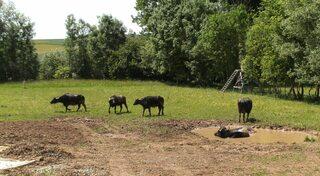 Wasserbüffel #1 - Wasserbüffel, Beweidung, Weide, weiden, ökologisch, ökonomisch, nachhaltig, Rasenmäher, Natur, Haustier, Genügsamkeit, Robustheit