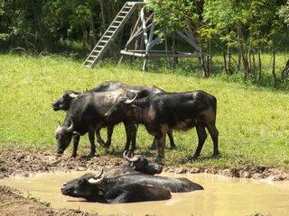 Wasserbüffel #2 - Wasserbüffel, Beweidung, Weide, weiden, ökologisch, ökonomisch, nachhaltig, Rasenmäher, Natur, Haustier, Genügsamkeit, Robustheit