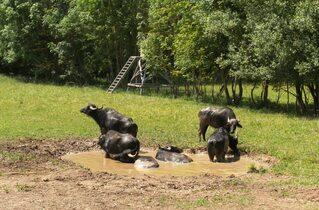 Wasserbüffel #3 - Wasserbüffel, Beweidung, Weide, weiden, ökologisch, ökonomisch, nachhaltig, Rasenmäher, Natur, Haustier, Genügsamkeit, Robustheit