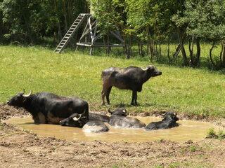 Wasserbüffel #4 - Wasserbüffel, Beweidung, Weide, weiden, ökologisch, ökonomisch, nachhaltig, Rasenmäher, Natur, Haustier, Genügsamkeit, Robustheit