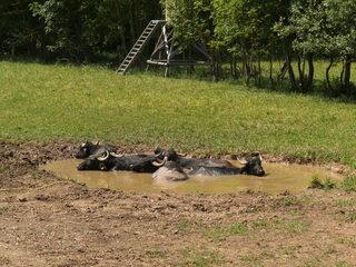Wasserbüffel #5 - Wasserbüffel, Beweidung, Weide, weiden, ökologisch, ökonomisch, nachhaltig, Rasenmäher, Natur, Haustier, Genügsamkeit, Robustheit