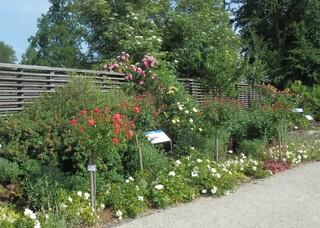 Rosenvielfalt - Rosen, Blumen, blühende Rosen, Rose, Schnittblume, Knospe, Rosengewächs, Naturform, Rosenblüte, Blüte, Blütenblätter