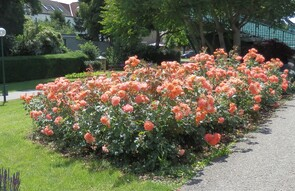 Rosen - Rosen, Rosenbeet, Blumen, orange, Blumen, blühende Rosen, Rose, Schnittblume, Knospe, Rosengewächs, Naturform, Rosenblüte, Blüte, Blütenblätter