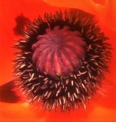Samenkapsel Mohnblüte - Mohn, Samenkapsel, rot, Blüte, Wildpflanze, Zuchtform, kultiviert, Mohnblüte, Mohnpflanze, Fruchtknoten, Staubblätter, Kapselfrucht