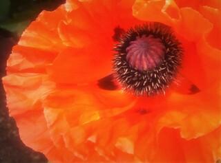 Mohnblüte - Mohn, Samenkapsel, rot, Blüte, Wildpflanze, Zuchtform, kultiviert, Mohnblüte, Mohnpflanze, Fruchtknoten, Staubblätter, Kapselfrucht