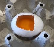 Untersuchung eines Hühnereis - Schritt Sichtfenster - Ei, Embryo, Hühnerei, Sichtfenster, Eischale, Dotter, Eiklar