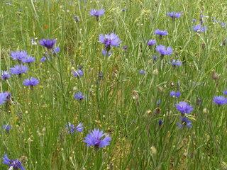 Kornblumen auf der Wiese - Blüte, Korbblütengewächs, Blüte, blau, Blume, Kornfeld, Naturschutz, Heilpflanze, einjährig, Centaurea cyanus