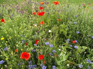 Bienenweide - Bienenweide, Bienentrachtpflanzen, Pollen, Nektar, Honigbienen, Nutzpflanzen, Imkerei