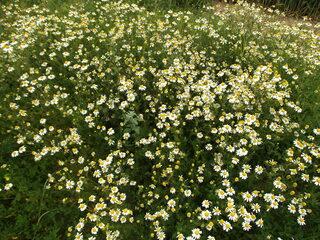 Kamille - Matricaria recutita, Heilpflanze, Kamille, Kräutertee, Korbblütler, einjährig, krautig, Tee, ätherische Öle