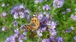 Distelfalter und Biene - Schmetterling, Insekt, Biene, Distelfalter, Tagfalter, Wanderfalter, Symmetrie