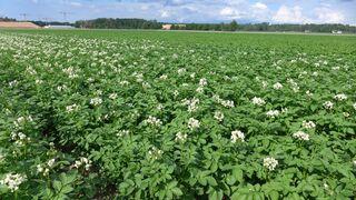 Kartoffelfeld - Kartoffel, Erdapfel, Grummbeere, Nachtschatten, Nachtschattengewächs, Nutzpflanze, Solanum tuberosum, Grundnahrungsmittel, Blüte, Kartoffelblüte