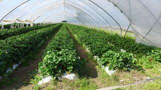 Erdbeerplantage - Erdbeere, rot, Obst, Erdbeere, Blütenpflanze, Frucht, Sammelnussfrucht, fragaria ananassa, Rosengewächs, Plantage
