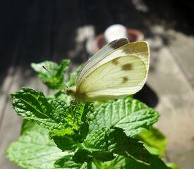 Kohlweissling - Schmetterling, Falter, Insekten, Blume, Kohlweissling, Kohlweißling