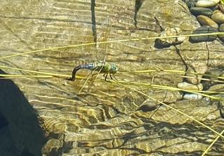 Libelle - Libelle, Sommer, fliegen, Flügel, Hautflügel, Insekten, Gliederfüßer, Insekt, Flügelpaar, Gewässer, Eiablage, Fortpflanzung