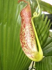 Kannenpflanze - Fleischfressende Pflanze, Bedecktsamer, zweikeimblättrig, Kannenpflanze, fleischfressend, Carnivore, Karnivore, Tropenpflanze, Tropen