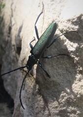 Eichenheldbock - Käfer, selten, bedrohte Art, größter Käfer, Eichenbock, Heldbock, Riesenbock, Spießbock, Böckkäfer