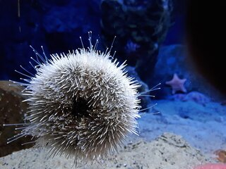 Diademseeigel - Seeigel, Stachelhäuter, Meer, Nordsee, Ostsee, stachelig, spitz, stechen, wirbellos