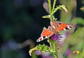 Tagpfauenauge - Schmetterling - Schmetterling, Tagfalter, Edelfalter, Aglais io, Inachis io, Nymphalis io, Peacock Butterfly, Symmetrie, Fühler, Kopf, Augen, saugen