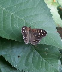 Waldbrettspiel - Waldbrettspiel, Schmetterling, Tagfalter, Augenfalter, Edelfalter, Schmetterlinge, Insekten