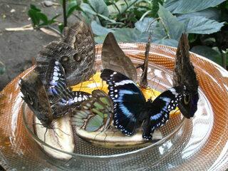 Schmetterlinge bei der Nahrungsaufnahme - Schmetterling, Insekt, Futter, Teller, Tropen, geschützt, Flügel, fressen