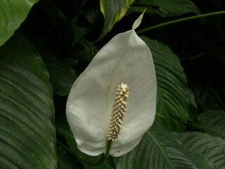 Einblatt - Einblatt, Spathiphyllum, Scheidenblatt, Blattfahne, Friedenslilie, Aronstabgewächs, Bedecktsamer, Blütenstand, Blütenkolben