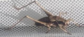 Brauner Grashüpfer - Insekt, Grashüpfer, Heuschrecke, heimisches Insekt, Nahrung für Vögel, Kurzfühlerschrecke, Feldheuschrecke
