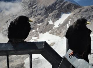 Alpendohle Zugspitze - Alpendohle, Rabenvögel, Bergkrähe, schwarzes Gefieder, rote Beine, gelber Schnabel, Verbreitungsgebiet Hochgebirge