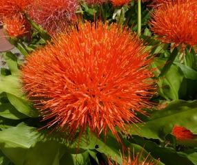 Feuerblume - Feuerblume, Liliengewächs, Pfefferersatz, Gartenpflanze, Zierpflanze, Heilpflanze
