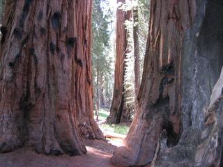 Sequoia Mammutbaum - Sequoia, Mammutbaum, Amerika, USA, National Park, Kalifornien, kiefernartig, Zypressengewächs, Pyrophyten, Rinde, faserig, Stamm