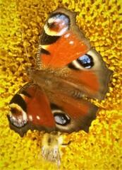 Schmetterling: Tagpfauenauge - Schmetterling, Insekt, Tagpfauenauge, Edelfalter, Fleckenfalter