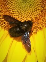 Holzbiene auf Sonnenblume - Insekt, Biene, Wildbiene, gefährdet, Hautflügler