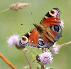 Schmetterling 4 - Schmetterling, Tagfalter, Tagpfauenauge